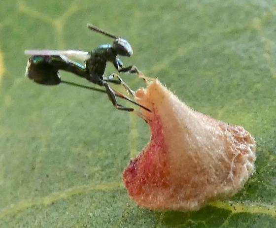 Andricus kingi with parasite laying eggs? - Torymus