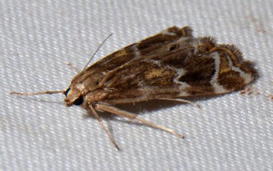 Petrophila cronialis or avernalis? - Petrophila avernalis