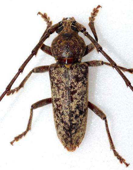 Feeds on Oaks - Enaphalodes atomarius - male
