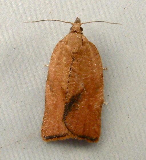 1705 Argyrotaenia franciscana (=citrana) - Orange Tortrix 3612 - Argyrotaenia franciscana