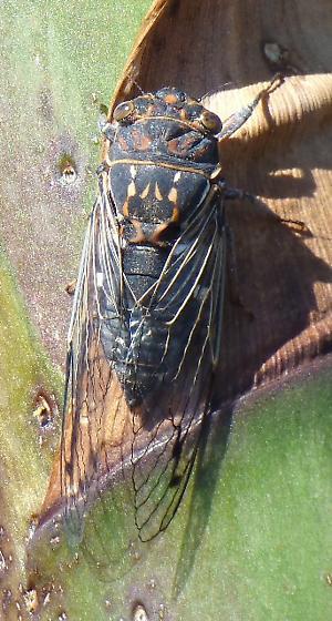cicada, black, brown markings - Hadoa duryi