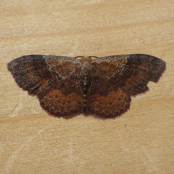 Geometridae: Leptostales rubromarginaria? - Leptostales ferruminaria