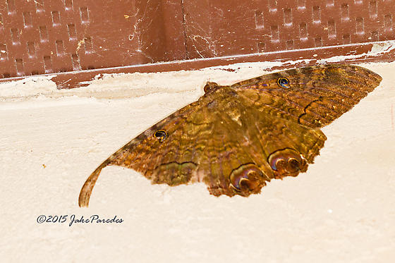 Moth or Butterfly and what species - Ascalapha odorata