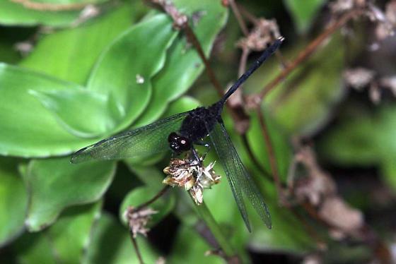 Dragonfly Pin-tailed Pondhawk - Erythemis plebeja - Erythemis plebeja