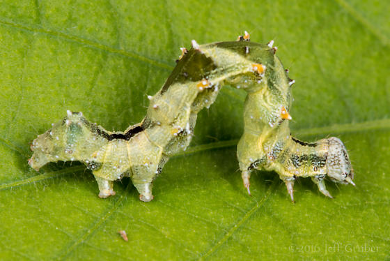 Caterpillar - Tarache