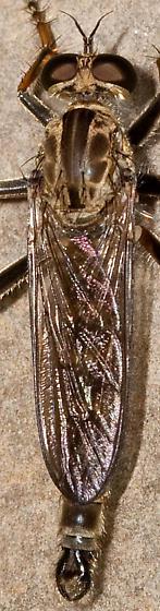 Smoke Hole Asilid - Philonicus fuscatus