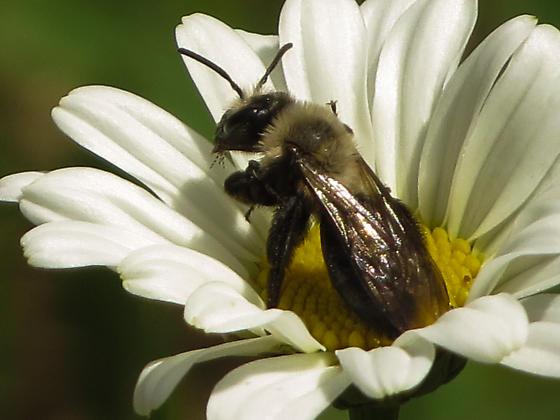 Mining Bee?? - Andrena
