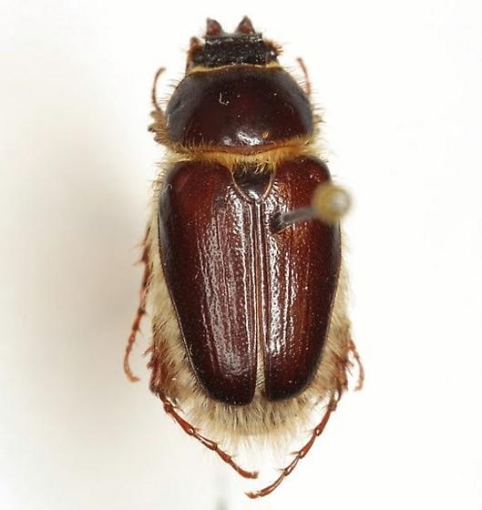Warwickia pilosa (Sanderson) - Warwickia pilosa