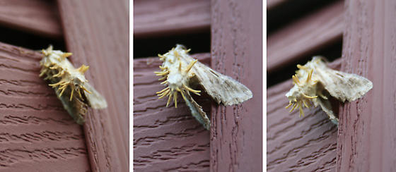 Moth with Unknown Growths