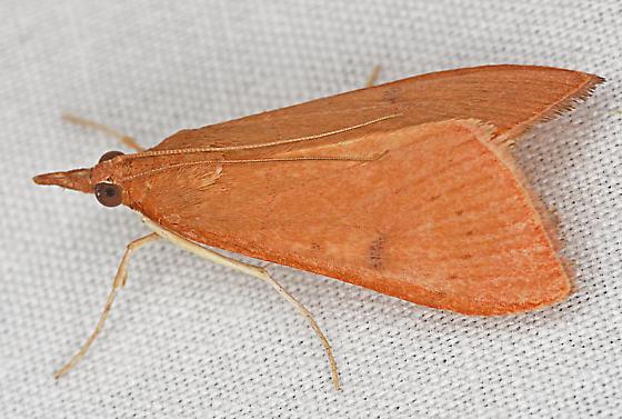 Moth, dorso-lateral - Uresiphita reversalis