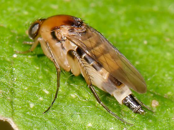 phorid fly - Phalacrotophora longifrons - female