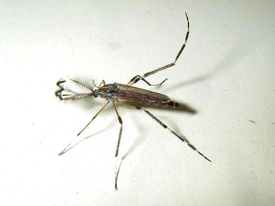 stylus diptera - Psorophora ciliata - male