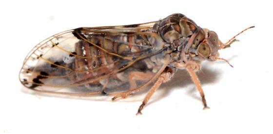 Pachypsylla reared from petiole galls - Pachypsylla venusta