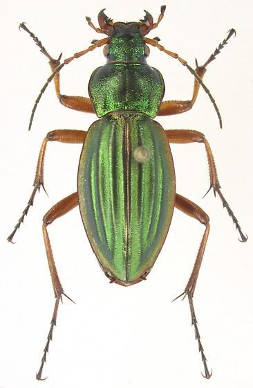 Carabus auratus - female