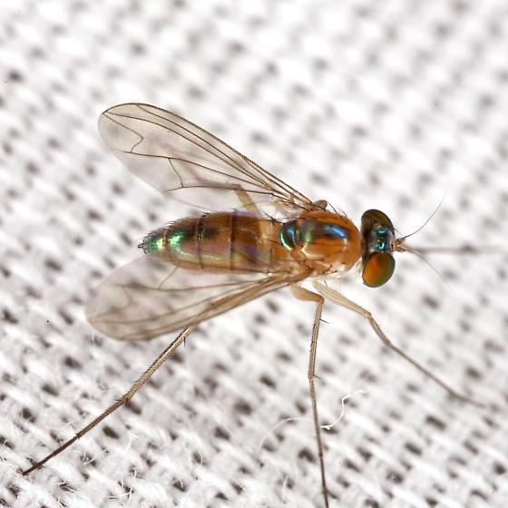 Long-legged Fly - Amblypsilopus dorsalis - female