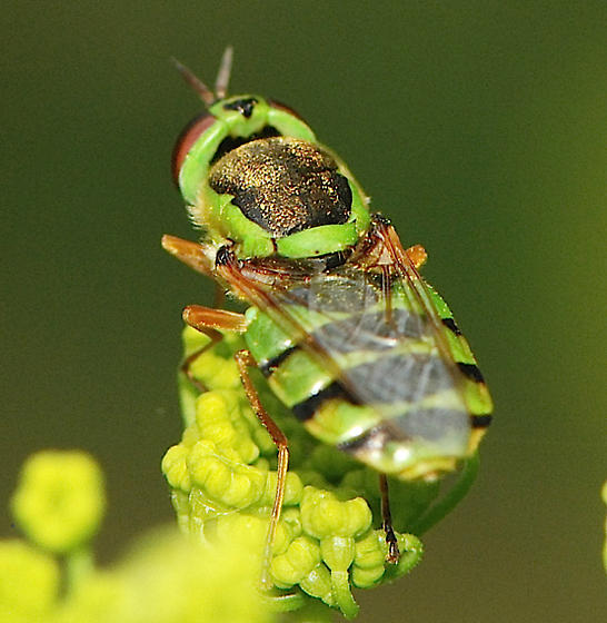 lime green and black fly - Soldier Fly - - Odontomyia cincta - female