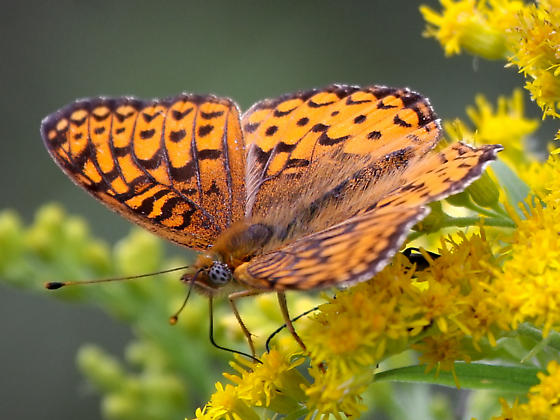 ID request. Which species of Fritillary? - Speyeria