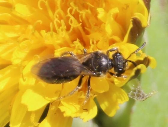 Small bee possibly Andrena - Lasioglossum