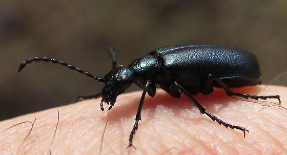 Cascade blister beetle - Lytta stygica