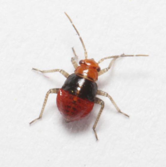 Miridae, Four-lined Plant Bug, dorsal - Poecilocapsus lineatus
