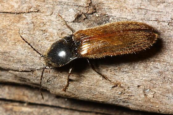 Click Beetle - Hemicrepidius pallidipennis