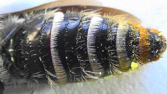 Grub-lover (ventral abdomen) - Dielis tolteca - female