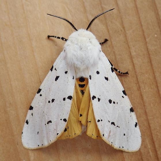 Erebidae: Estigmene acrea - Estigmene acrea - male