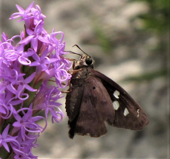 unknown skipper butterfly - Polygonus leo
