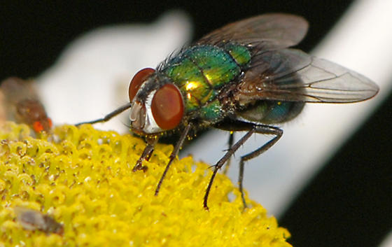 Hairy Maggot Blow Fly and friends - Lucilia sericata - female