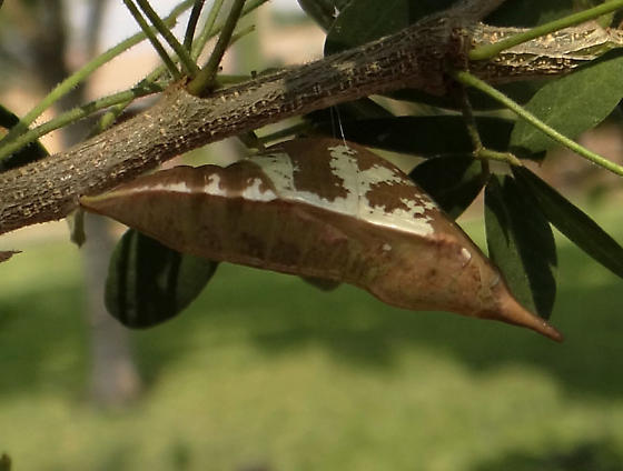 Unknown chrysalis.. - Phoebis agarithe - female