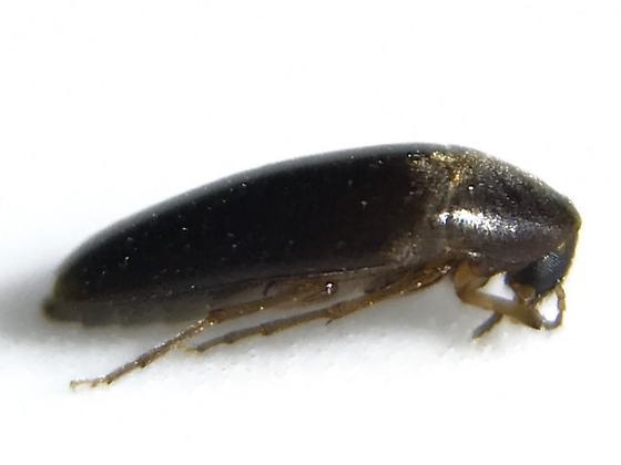 Melandryid - Anisoxya glaucula