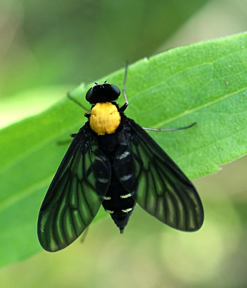 flying insect - Chrysopilus thoracicus