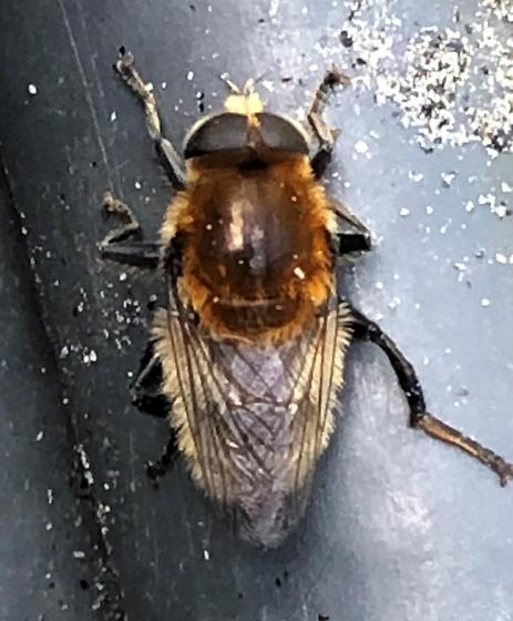 Unknown insect - Merodon equestris
