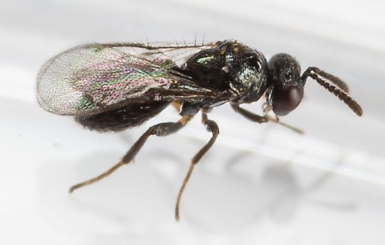 Wasp - Ormyrus - male