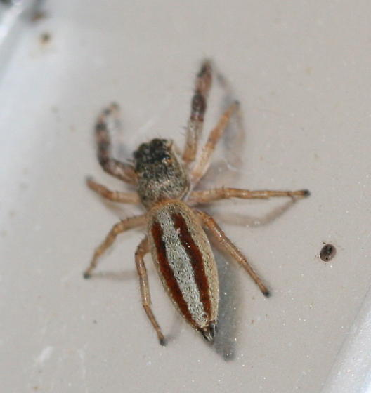 Marpissa formosa female - Marpissa formosa - female