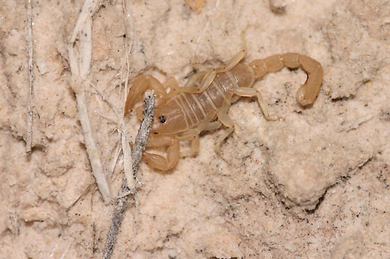 White Sands scorpion - Paruroctonus utahensis