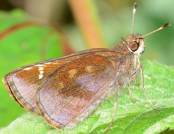 Clouded Skipper? - Lerema accius