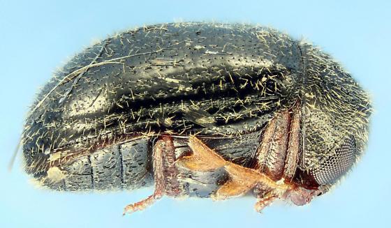 Byrrhodes intermedius - Dorcatoma setulosa