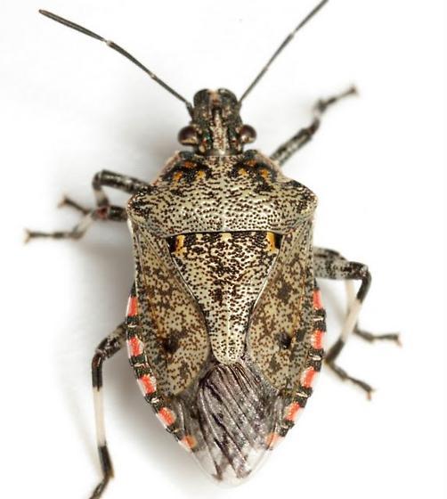 Apateticus lineolatus (Herrich-Schäffer) - Apateticus lineolatus