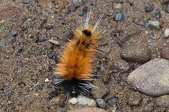 unknown caterpiller - tusuck moth species? - Lophocampa maculata