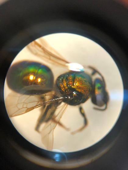Family Halictidae