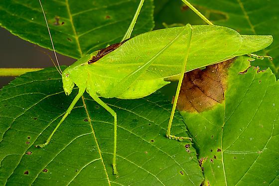 Katydid sp - Amblycorypha oblongifolia - male