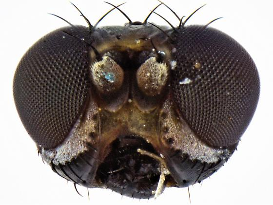 Sphaeroceridae? - Hemeromyia