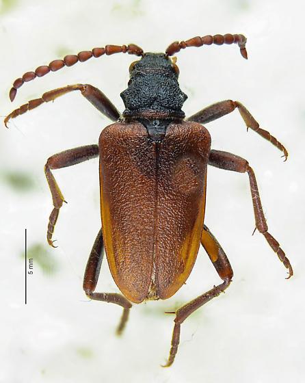 Lepturinae maybe? - Piodes coriacea