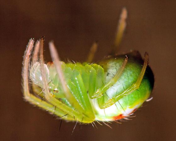 Green orbweaver - Araneus cingulatus