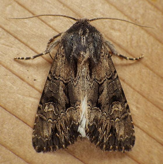 Noctuidae: Apamea burgessi - Apamea burgessi