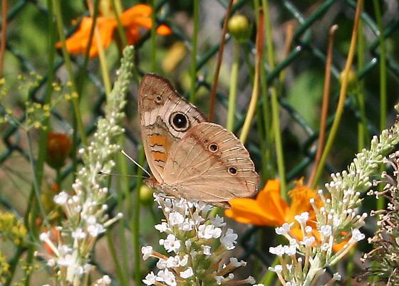 Common Buckeye - Junonia coenia - male
