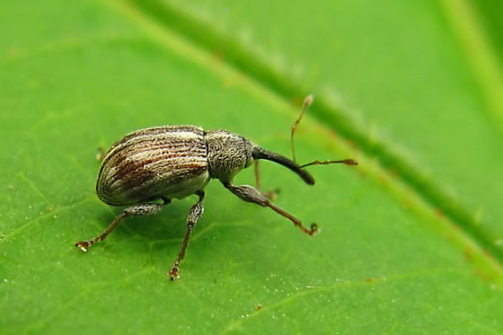 Weevil Beetle - Anthonomus lecontei