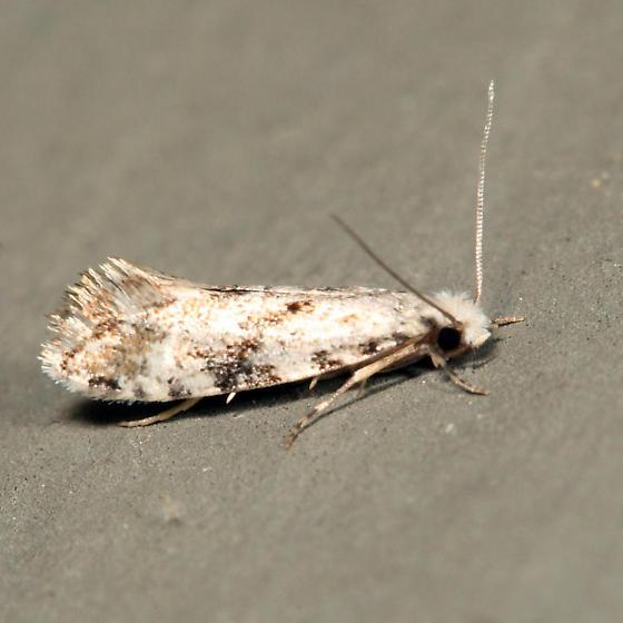 Nemapogon - female