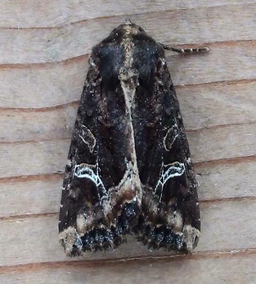 Noctuidae: Celaena reniformis - Helotropha reniformis